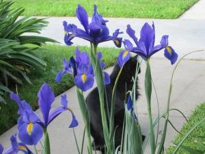 Irises with Cat.