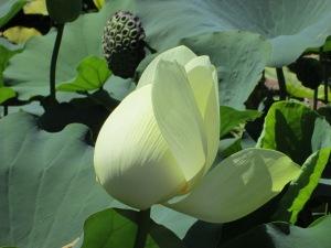 Lotus blooming at Japanese Gardens in Van Nuys, Ca. (Image from last week's post.)